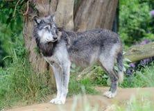 Волк самостоятельно Стоковая Фотография RF