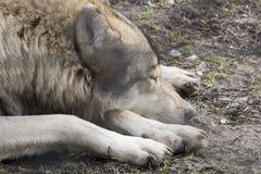 волк спать стоковая фотография rf