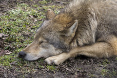 волк спать стоковое фото rf