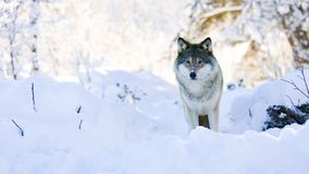 Волк стоит в красивом лесе зимы акции видеоматериалы
