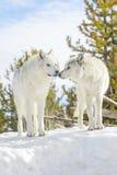 Волк тимберса пар серый в зиме Стоковая Фотография