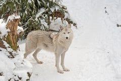 Волк тундры на снеге Стоковая Фотография