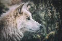 Волк тундры Alskan (albus волчанки волка) в одичалом Стоковое Изображение RF