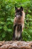 Волк черного участка серый (волчанка волка) стоит на журнале Стоковая Фотография