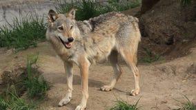 Волк видеоматериал