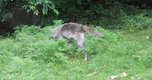 волк 4K UltraHD серый, волчанка волка, идя акции видеоматериалы