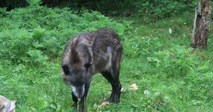 волк 4K UltraHD темный серый, волчанка волка видеоматериал