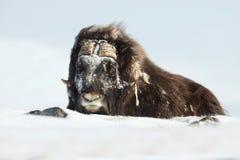 Вол мускуса в зиме Стоковое фото RF