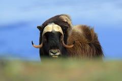 Вол мускуса, moschatus Ovibos, с горой Snoheta на заднем плане, большое животное в среду обитания природы Большое опасное животно Стоковое Фото