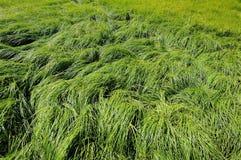 Волна зеленой травы на пляже когда морская вода в малой воде Стоковое фото RF