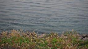 Волна прибоя и Pennisetum пера на береге реки видеоматериал