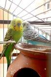 2 волнистого попугайчика в клетке Стоковое Изображение