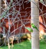 2 волнистого попугайчика естественного колорита сидят на ветви Стоковые Фотографии RF