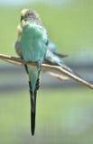 Волнистые попугайчики другое имя для общего длиннохвостого попугая Стоковые Фото