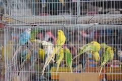 Волнистый попугайчик в клетке на зоомагазине Стоковое фото RF
