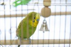 Волнистый попугайчик в клетке _ Стоковая Фотография RF