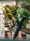 Волнистый попугайчик очищая пер стоковая фотография