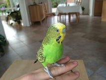 Волнистый попугайчик сидя на руке стоковая фотография