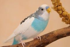 Волнистый попугайчик стоковая фотография