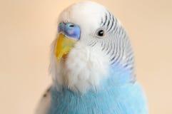 Волнистый попугайчик стоковая фотография rf