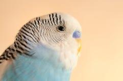 Волнистый попугайчик стоковые фото