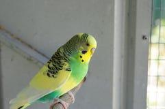 Волнистый попугайчик Budgie в домашнем aviary на окуне Стоковое Фото