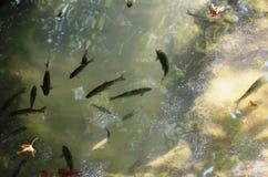 Водопад Антальи Manavgat, тысячи разнообразий рыб и чудо природы стоковые фотографии rf