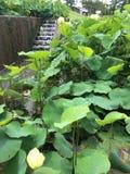 Водопад лилий Стоковое фото RF