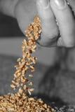 Водопад пшеницы Стоковое фото RF