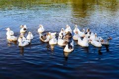 Водоплавающая птица - гусыни плавая в озере Стоковая Фотография RF