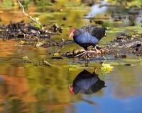 Водоплавающая птица Стоковое Изображение