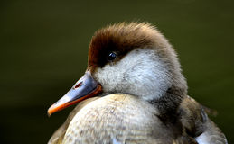 Водоплавающая птица Стоковая Фотография