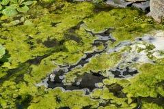 Водоросли засорителя одеяла Стоковое фото RF