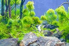 Водоросль или засоритель аквариумного растени или акватических Стоковое Фото