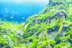 Водоросль или засоритель аквариумного растени или акватических Стоковые Изображения RF