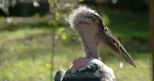 Волосатая голова аиста marabou смотря вокруг области FS700 4K видеоматериал