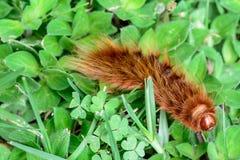Волосатая гусеница Стоковые Изображения RF