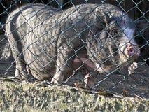 Волосатая свинья Стоковая Фотография