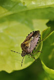 Волосатая черепашка Shieldbug или Sloe Стоковое Фото