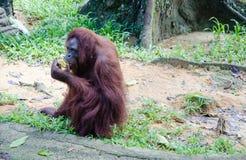 Волосатое Orang Utan Стоковые Фотографии RF