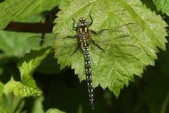 Волосатое pratense Brachytron Dragonfly садилось на насест на лист Стоковое Изображение