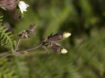 Волосатые бутоны цветков Стоковое Изображение