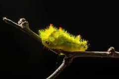 Волосатые гусеницы Стоковые Изображения