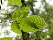 Волосатые листья весны Стоковые Фотографии RF