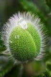 Волосатый зеленый бутон мака на предпосылке сада defocused Стоковое Фото