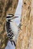 Волосатый Woodpecker Стоковая Фотография RF