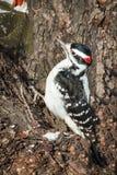Волосатый Woodpecker - villosus Picoides Стоковая Фотография