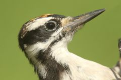 Волосатый Woodpecker & x28; Villosus& x29 Picoides; Стоковое фото RF