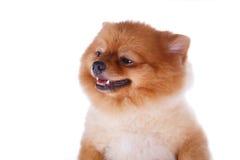Волосы коричневого цвета собаки Pomeranian короткие Стоковые Фото
