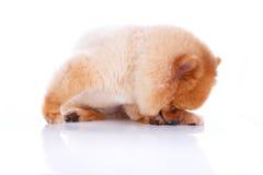 Волосы коричневого цвета собаки Pomeranian короткие Стоковое Изображение